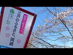 ぼんぼりと桜