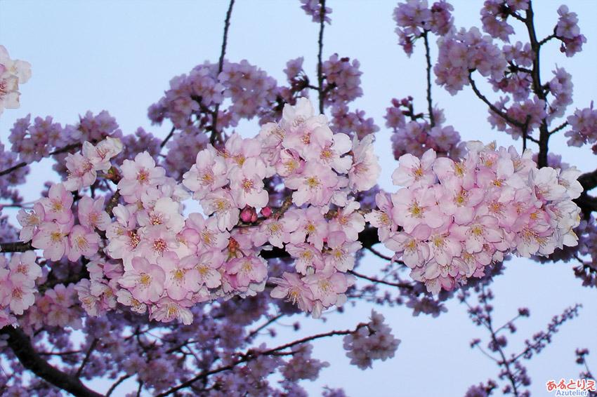 葵桜2016