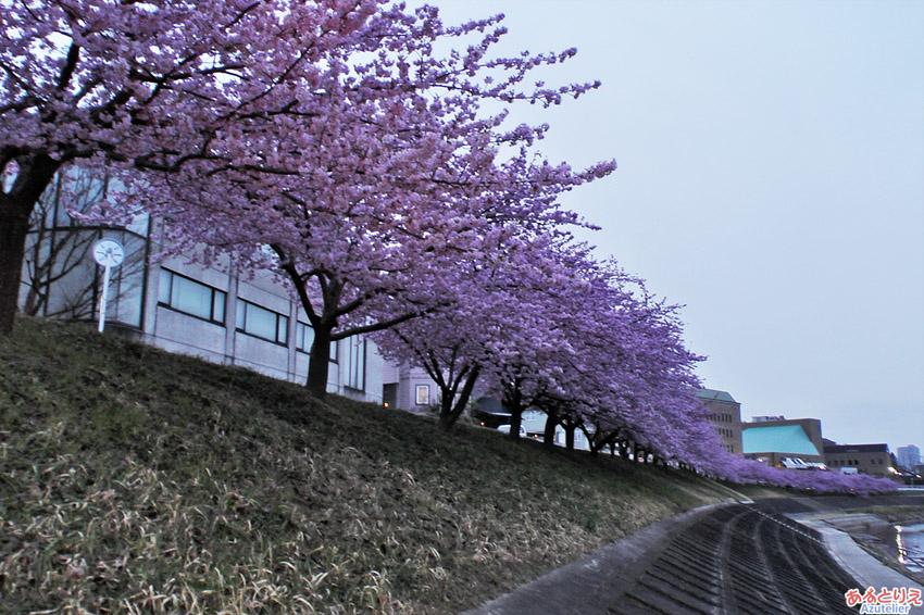 葵桜2016その2