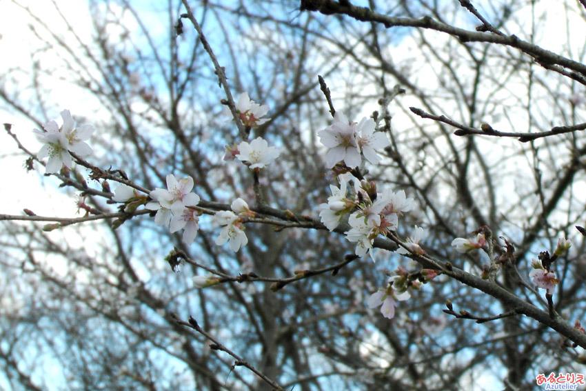 桜が咲いています〜