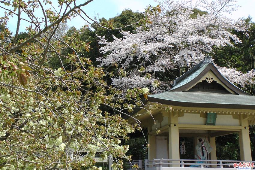 上地八幡宮うこん桜