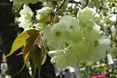 上地八幡宮うこん桜その2